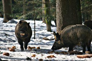 Wildschwein Tiergehege im Bayerischen Wald