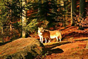 Wölfe im Tiergehege